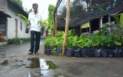 Pengorbanan Lasiyo, Eksperiman dan penelitihan , Kreatif dan inovatif, Varietas pisang, kunjungan kebun pisang, paket wisata Jogja75